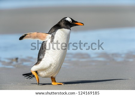 Gentoo penguin runs over the coast.  Falkland Islands, South Atlantic Ocean, British Overseas Territory - stock photo