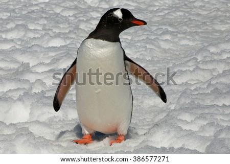 Gentoo Penguin walking through the snow, Antarctica - stock photo