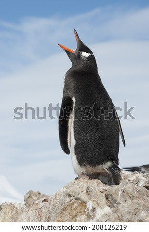 Gentoo Penguin yawns. - stock photo