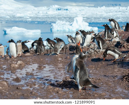 Gentoo penguins colony singing on the beach - stock photo