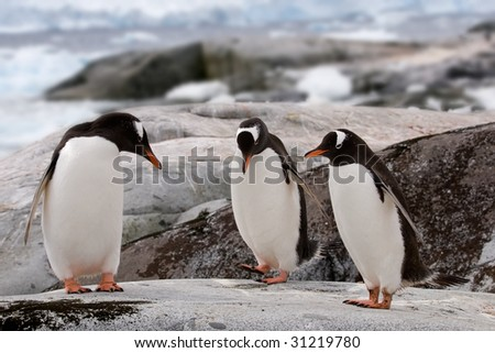 Gentoo penguins could be doing their dance or examining if it's pedicure time, but are actually just drying their feathers - stock photo