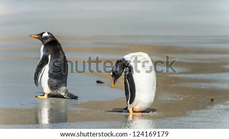 Gentoo penguins near the water over the coast.  Falkland Islands, South Atlantic Ocean, British Overseas Territory - stock photo