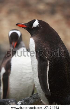Gentoo Penguins on South Shetland Islands - stock photo