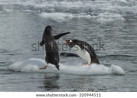 Gentoo Penguins playng on the iceberg in Antarctica  - stock photo