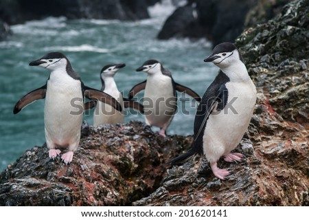 Gentoo penguins (Pygoscelis antarctica) climb a rocks in the South Shetland Islands to get to their nesting colony. This species feeds on Antarctic krill, fish, and squid, and live from 15-23 years. - stock photo