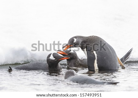 Gentoo penguins (Pygoscelis papua) swim and share the food in the water - stock photo