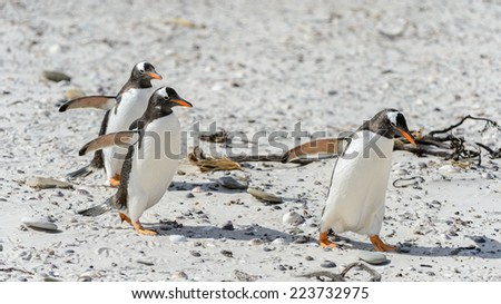Gentoo penguins run on the sand - stock photo