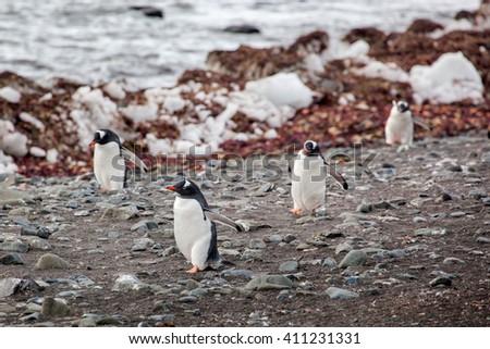 Gentoo penguins walking onto the beach, Antarctica - stock photo