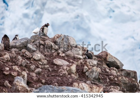 Gentoo penguins with bird on a rock against snow rocks  - stock photo