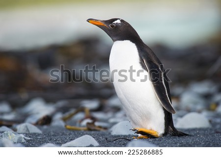Gentoo Pinguin (Pygoscelis papua) walking on a rocky beach at Macquarie island, Australia. - stock photo