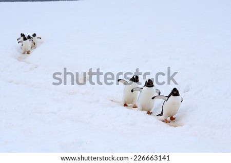 """Gentoo (Pygoscelis papua) establish their colonies in rocky outcrops, sometimes far from the sea. The trips of thousands of penguins from the colony to the sea excavate these """"Highways"""" in the ice. - stock photo"""