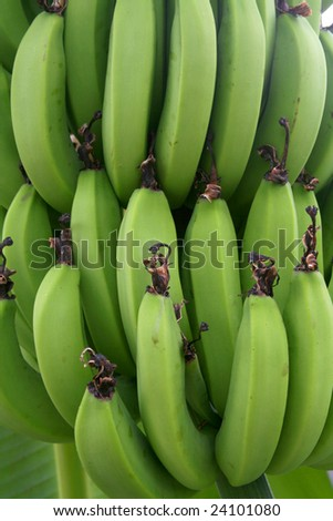 Genuine bananas on a tree for a background. - stock photo