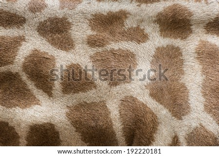 genuine leather skin of giraffe - stock photo