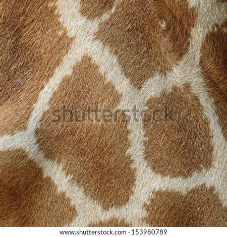 Genuine leather skin of Giraffe (Girafta camelopardalis) - stock photo