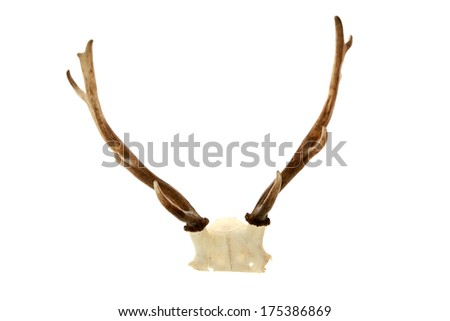 Genuine Real Live Deer Antlers AKA Horns still attached to a part of the Deer Skull. Isolated on white with room for your text. The Perfect Deer Antler aka Deer Horn image for all your needs. - stock photo