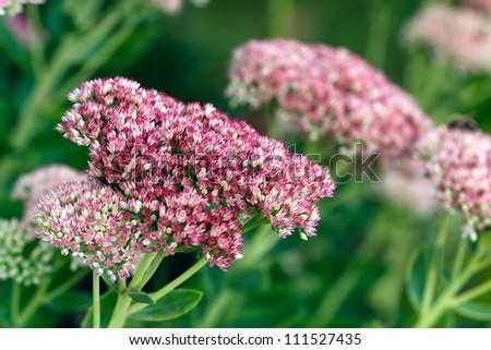 Genus Sedum Flower or stonecrop - stock photo
