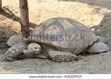 Geochelone sulcata,  Sulcata tortoise, African spurred tortoise - stock photo