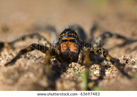 Geolycosa vultuosa huge spider - stock photo