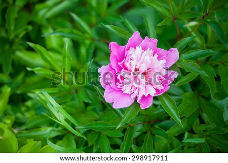 Georgeous pink peony in a full bloom - stock photo