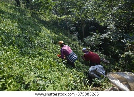 Georgian people collect tea at field in Rize, Turkey, 20 August 2015 - stock photo