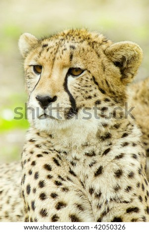 gepard cheetah portrait - stock photo
