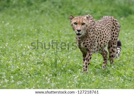 Gepard walking in green grass - stock photo