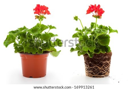 geranium are often used flowers for the balcony, isolated on a white background - stock photo