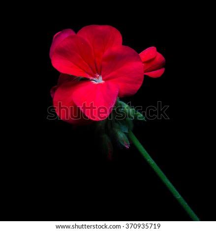 Geranium flower on black background. - stock photo