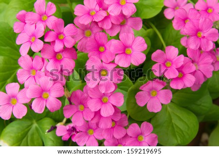 geranium flowers - stock photo