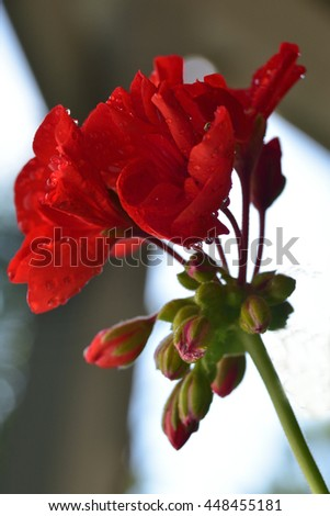 Geranium flowers and unopened buds in various stages of bloom - stock photo