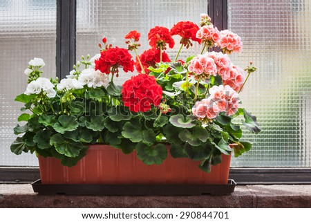 Geranium flowers on windowsill - stock photo