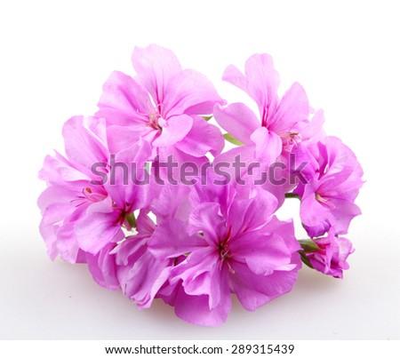 Geranium Pelargonium - stock photo