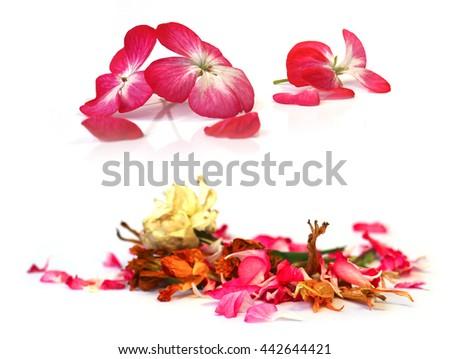 geranium, petunia, dry delicate flowers, leaves and petals of pressed, iris, rose, marigolds, Aquilegia pelargonium, isolated on white background scrapbook - stock photo