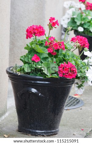 geranium pots - stock photo