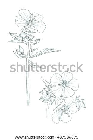 geranium pratense wild flower hand pencil drawing