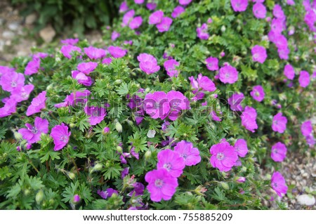 Geranium sanguineum or bloody crane's-bill or bloody geranium pink or purple many flowers with green