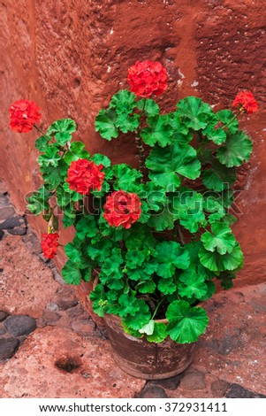 geranium standing on the corner of the red building - stock photo