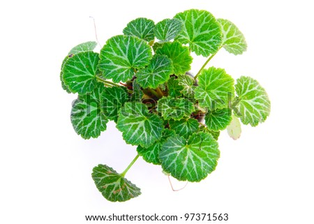 geranium tree from top view - stock photo