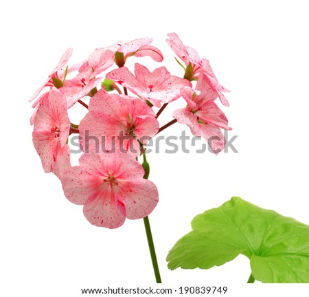 Geranium with leaves isolated on white background