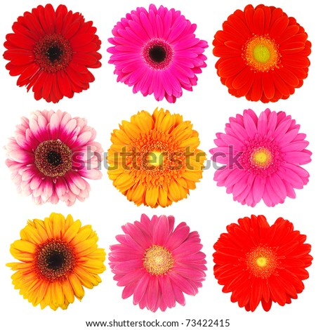Gerber blooms isolated on white