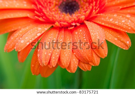 Gerber covered with dew. Closeup, shallow DOF. - stock photo
