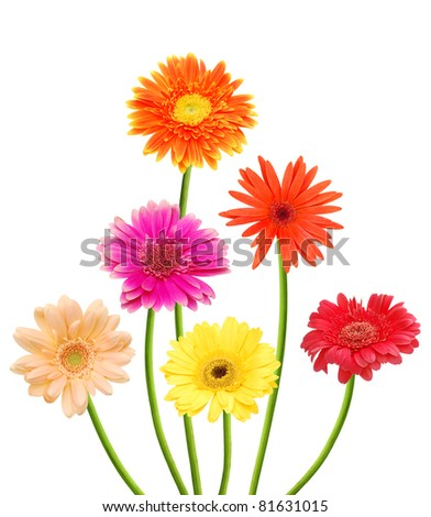 Gerber daisies - stock photo