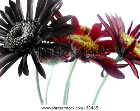 Gerber daisies. Left edited black.
