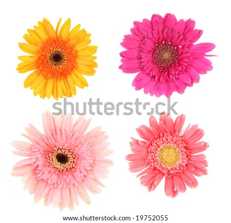 Gerber daisies on white