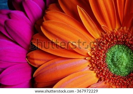 Gerber daisies pink and orange - stock photo