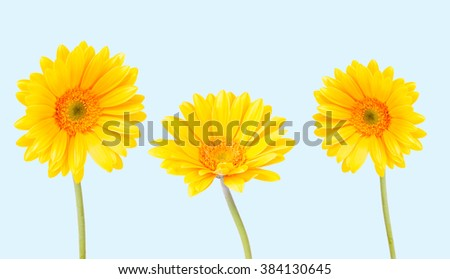 Gerber Daisy, isolated on blue background - stock photo
