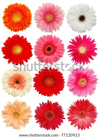 Gerber Daisy on collection - stock photo