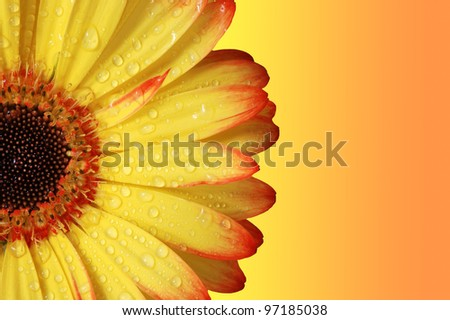 Gerber Daisy, orange and yellow colors.  Close up. - stock photo