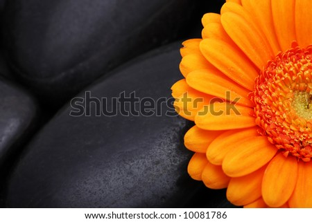 Gerber flower bloom black stone nature spa orange still-life detail blossom daisy - stock photo
