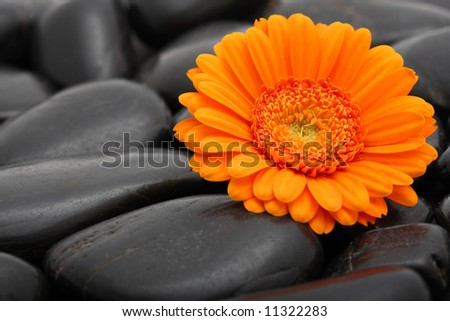 gerber flower bloom spa stone background abstract nature - stock photo